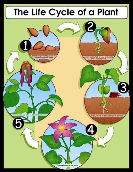 Plant life cycle clipart clip freeuse download Plant Life Cycle - Lessons - Tes Teach clip freeuse download