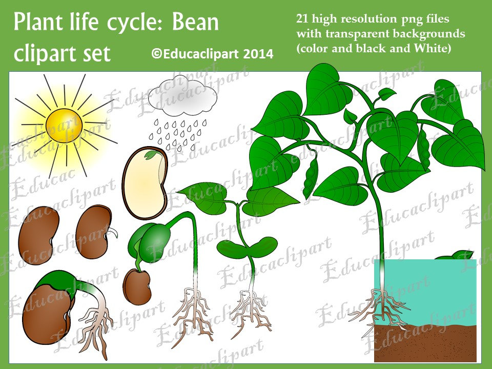 Plant life cycle clipart transparent Plant life cycle: Bean clipart set transparent