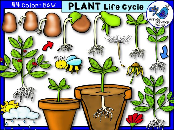 Plant life cycle clipart svg freeuse download Plant Life Cycle Clip Art - Whimsy Workshop Teaching | New life ... svg freeuse download