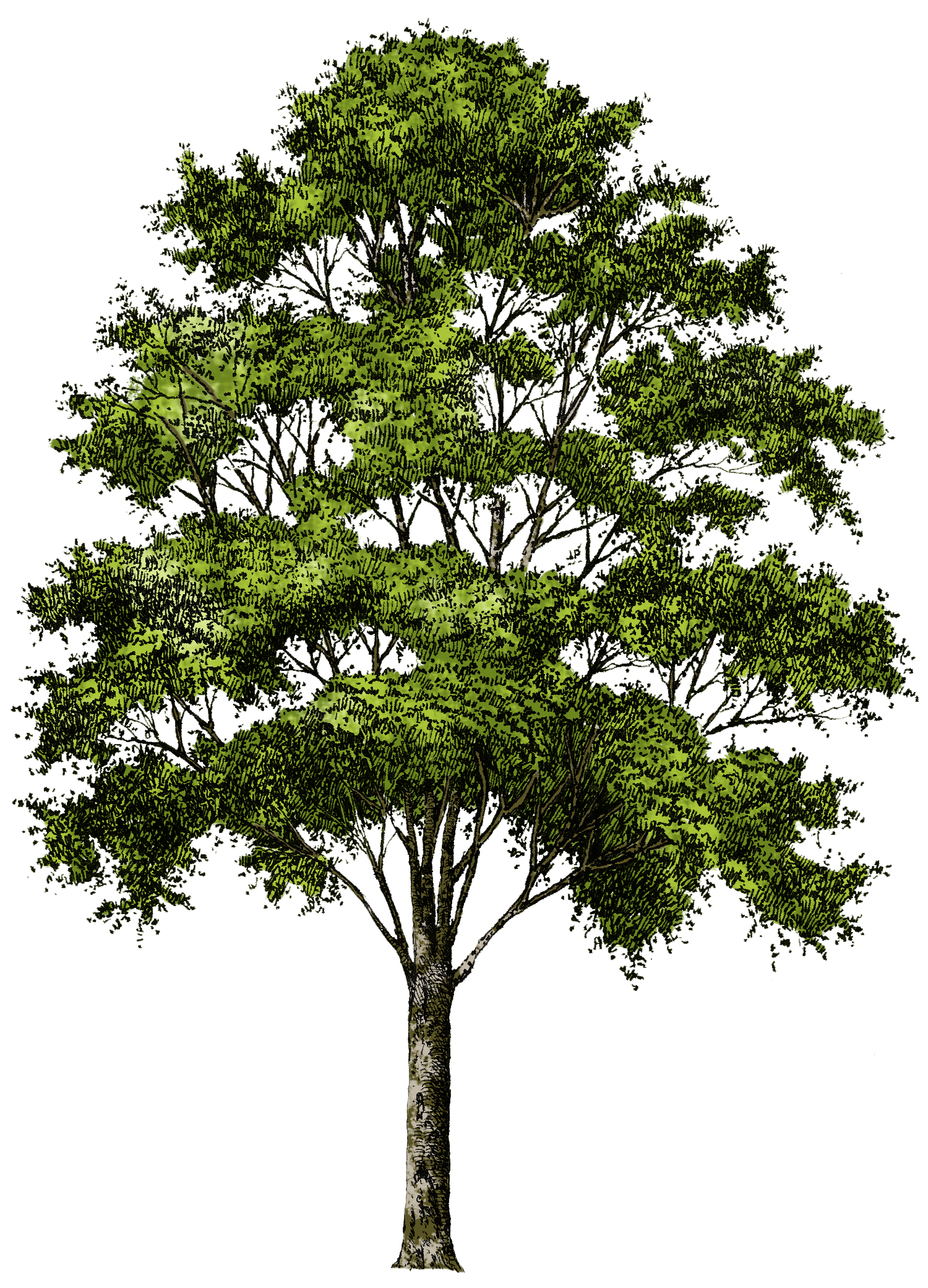Planting a tree clipart jpg black and white download Trees Gallery | Isolated Stock Photos by noBACKS | Watercolor ... jpg black and white download