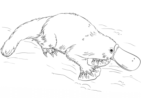 Platypus clipart black and white picture transparent download Platypus coloring page | Free Printable Coloring Pages picture transparent download