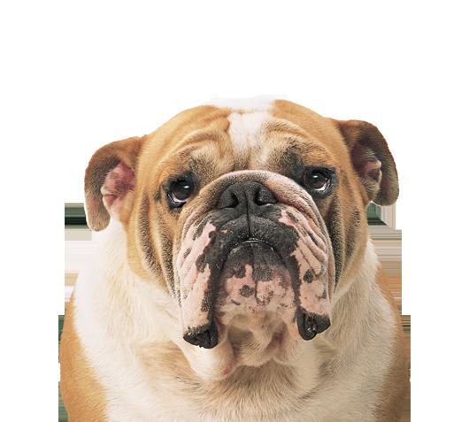 Pngs of bulldogs vector royalty free Download Bulldog Png Clipart HQ PNG Image | FreePNGImg vector royalty free