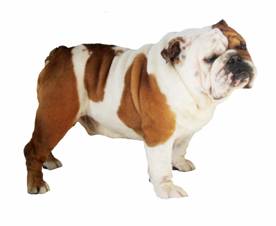 Pngs of bulldogs royalty free download Bulldog Free Png Pluspng - Bulldog Free PNG Images & Clipart ... royalty free download