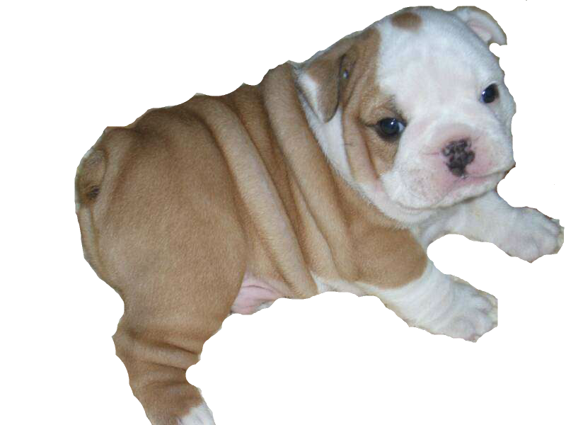 Pngs of bulldogs svg free library Download Bulldog Png HQ PNG Image | FreePNGImg svg free library