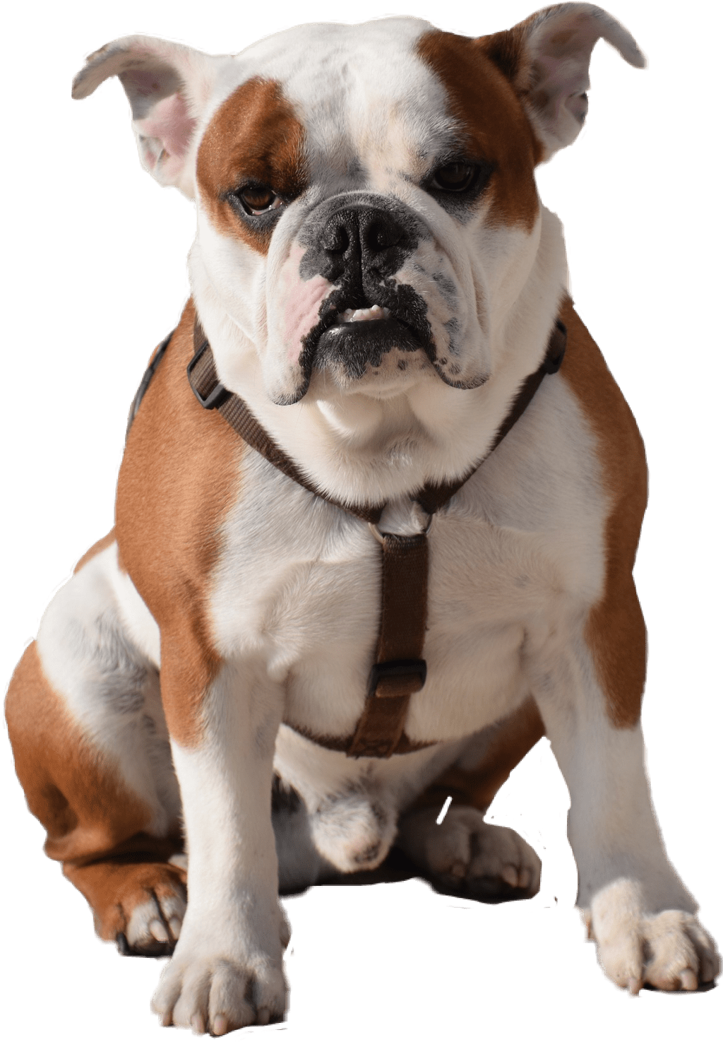 Pngs of bulldogs vector free stock Bulldog Sitting Transparent PNG Image #402 - PNG Mix vector free stock