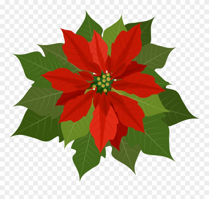 Poinsettias clipart with transparent background vector stock Poinsettia Clipart Png Transparent Png (#2361635) - PinClipart vector stock