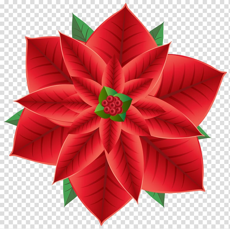 Poinsettias clipart with transparent background graphic free download Red and green flower , Poinsettia Christmas Flower ... graphic free download