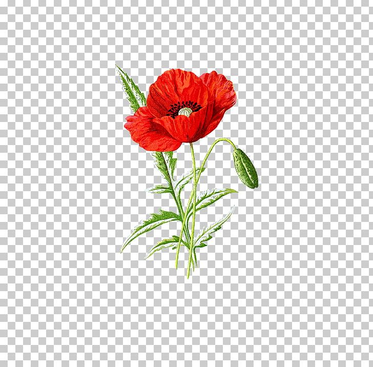 Poppy seed clipart png library library Poppy Seed Supreme Flower PNG, Clipart, Annual Plant ... png library library
