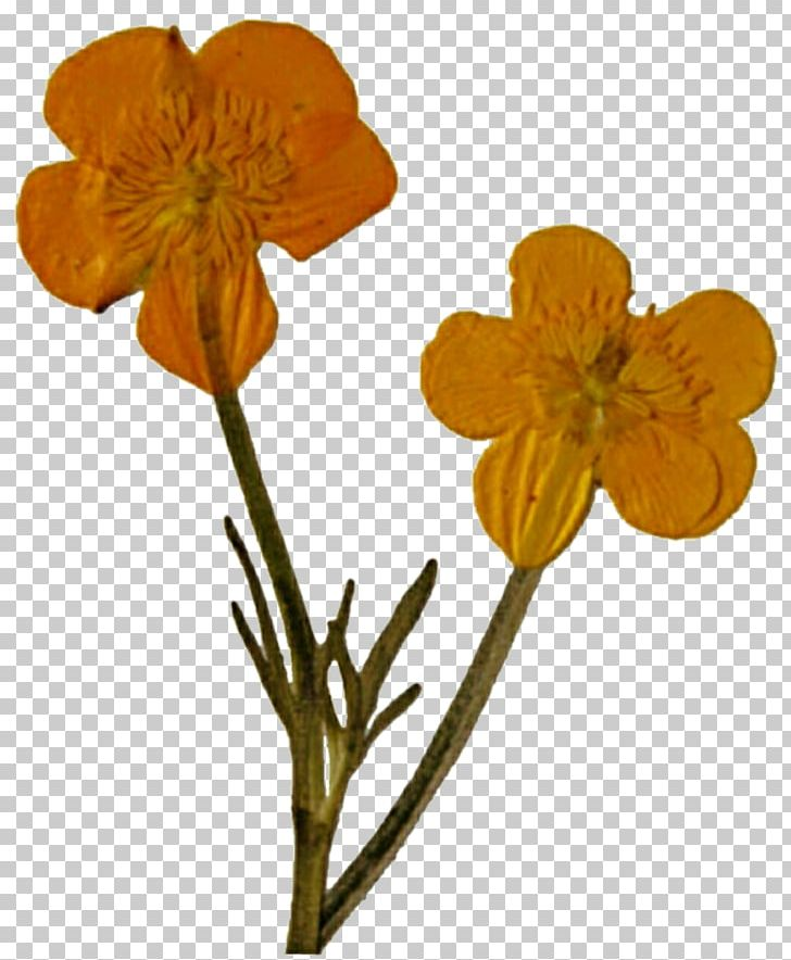 Pressed flower clipart vector library library Pressed Flower Craft Poppy Cut Flowers Wildflower PNG ... vector library library