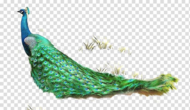 Pretty peacock clipart graphic transparent Feather Asiatic peafowl Computer file, Pretty Peacock and ... graphic transparent