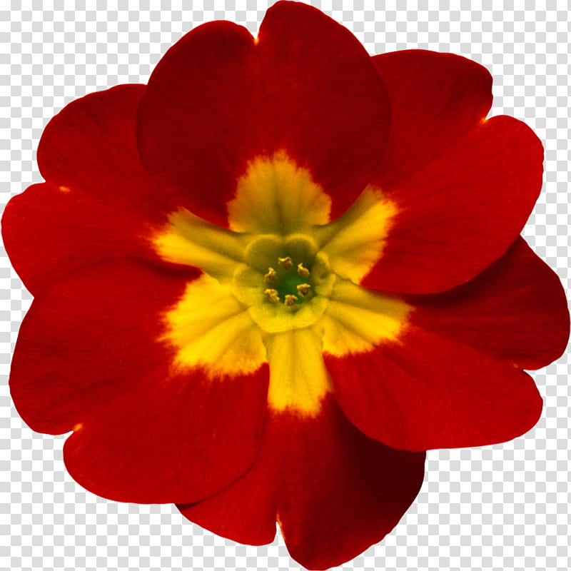 Primrose flower clipart download Object Petals, red and yellow primrose flower transparent ... download
