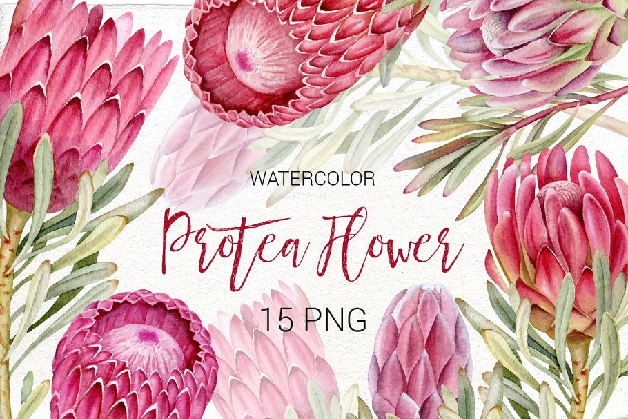 Protea clipart png black and white library Watercolor Protea clip art. png black and white library