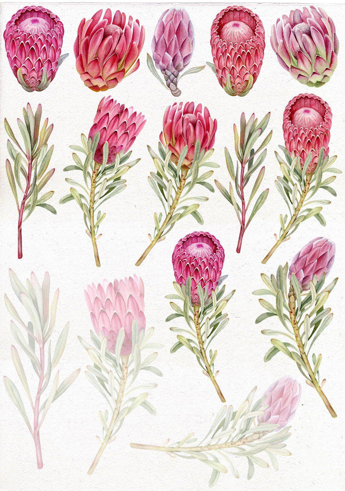 Protea clipart clip art stock Wedding watercolor Protea clip art. Tropical flowers PNG ... clip art stock