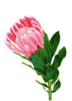 Protea clipart clip black and white Clipart protea flower 2 » Clipart Portal clip black and white