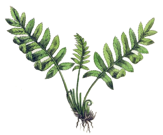 Public pictures domain free bronze fern on black backround clipart image freeuse Free Drawn Fern unique plant, Download Free Clip Art on ... image freeuse