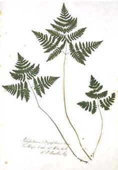 Public pictures domain free bronze fern on black backround clipart image stock 78 Best Ferns images in 2019 | Ferns, Plants, Plant leaves image stock