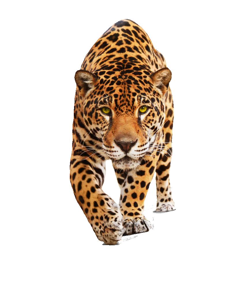 Spotted cat clipart clipart transparent stock png transparent background - Recherche Google | tiger | Pinterest ... clipart transparent stock