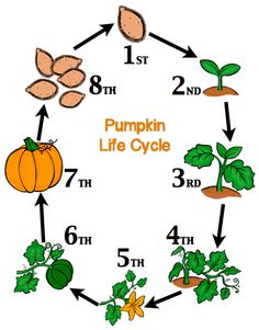 Pumpkin life cycle clipart jpg library download Pumpkin life cycle clipart - ClipartFest jpg library download