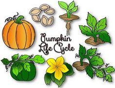 Pumpkin life cycle clipart free stock Pumpkin life cycle clipart - ClipartFest free stock
