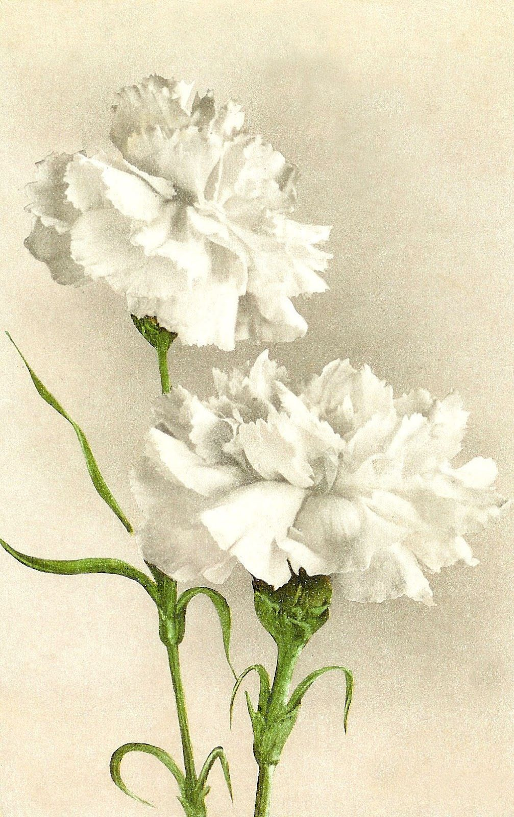 Purple and white carnations water painting clipart svg free download White carnations...I would love this as a painting in my ... svg free download