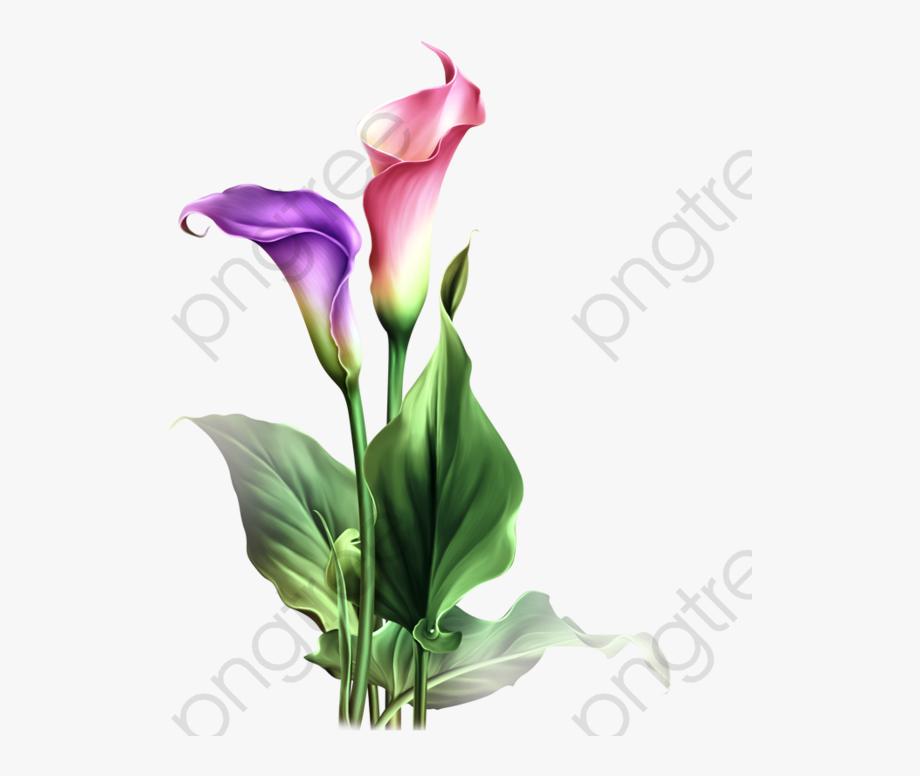 Purple calla lily clipart png transparent library Watercolor Calla Lily Png - Calla Lily Flower Drawing ... png transparent library