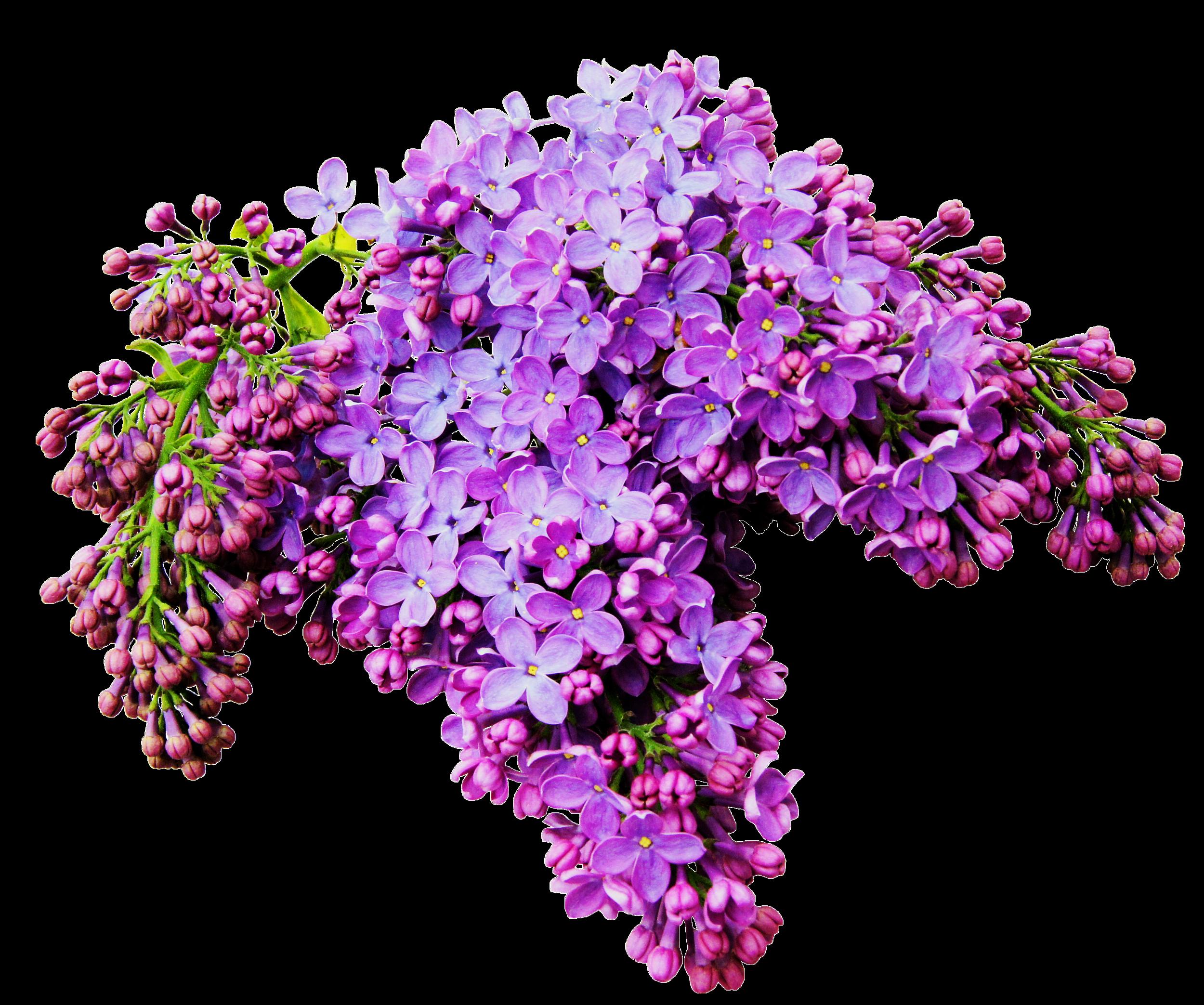 Purple flower bouquet clipart png transparent stock Lilac Flower Albom Clip art - A bouquet of beautiful flowers 2500 ... png transparent stock