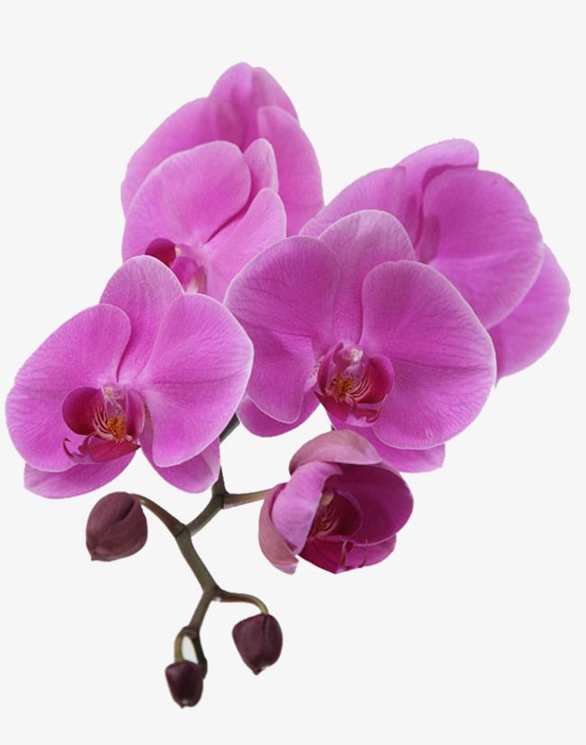 Purple orchid clipart clip art freeuse library Purple Orchid, Purple Petals, A Flower, Flowers PNG ... clip art freeuse library