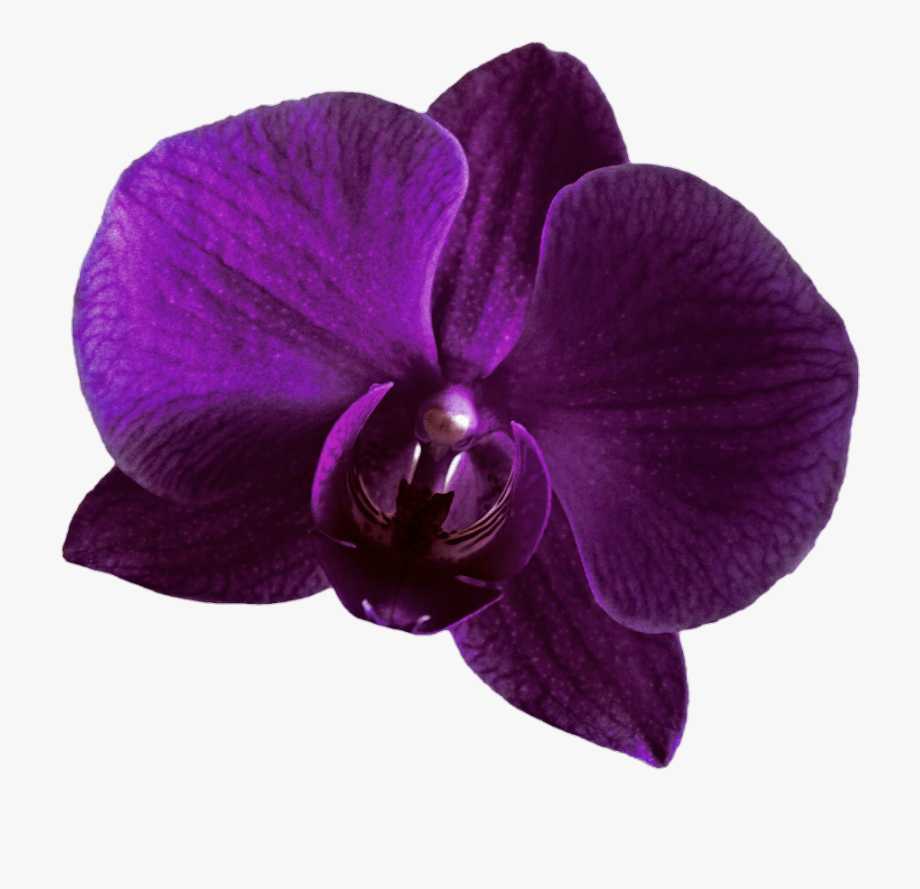 Purple orchid clipart image free library Purple Orchid Clipart - Purple Orchid Flower Png #551456 ... image free library