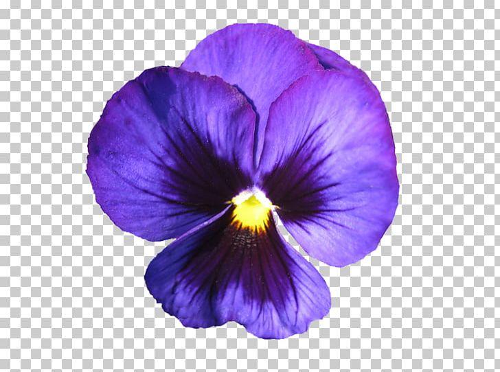 Purple violet clipart svg royalty free African Violet Pansy Purple Flower Sweet Violet PNG, Clipart ... svg royalty free