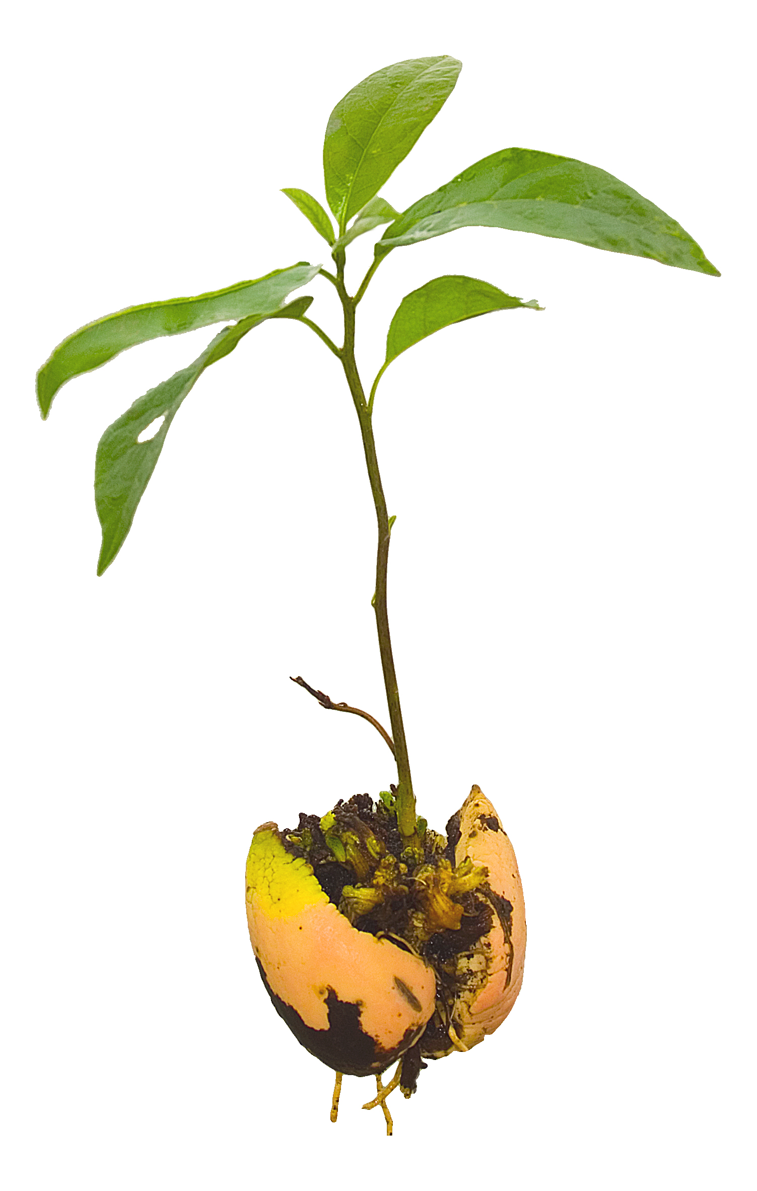 Put seed in dirt clipart png black and white stock Growing avocados from seeds without using tootphicks png black and white stock