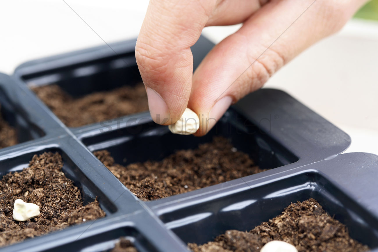 Put seed in dirt clipart banner royalty free library Human hand putting seeds into plastic trays Stock Photo ... banner royalty free library