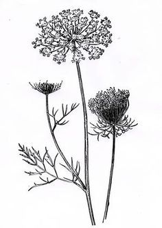 Queen anns lace cliparts picture library stock Pencil drawing on Pinterest | 29 Pins | in the woods | Lace ... picture library stock