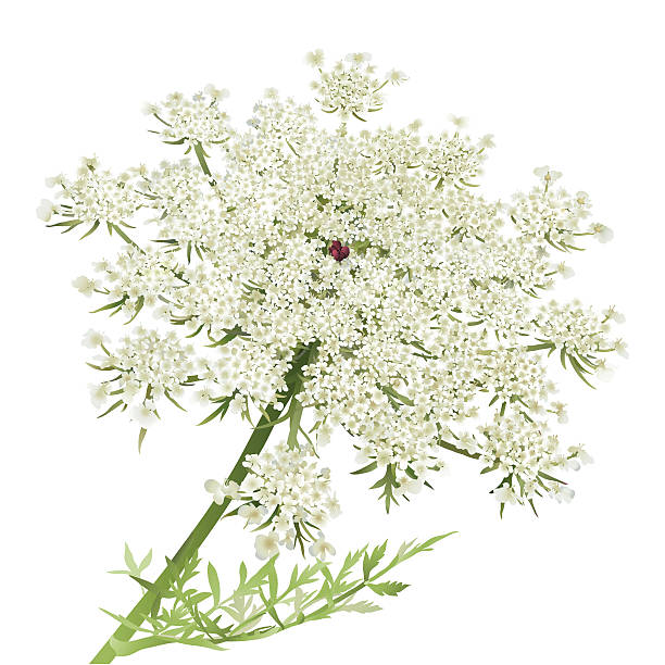 Queen anns lace cliparts png black and white library Queen Anne\'s Lace Vector Art Illustration ... - 612*612 ... png black and white library