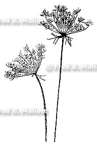 Queen anns lace cliparts banner library stock Sepia Flower Print Of Queen Anne\'s Lace By #74494 ... banner library stock