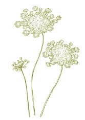 Queen anns lace cliparts clipart download Blue and White Retro Queen Annes Lace Floral Background ... clipart download