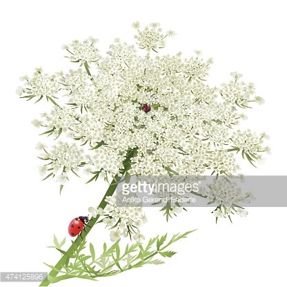 Queen anns lace cliparts vector royalty free library Ladybug ON Queen Anne\'s Lace premium clipart - ClipartLogo.com vector royalty free library