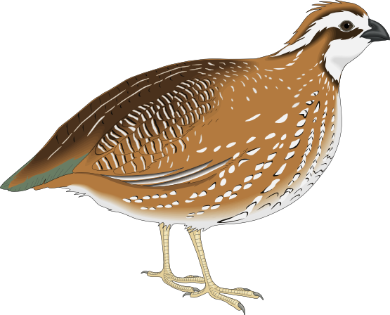 Quial clipart graphic freeuse download Free Quail Cliparts, Download Free Clip Art, Free Clip Art ... graphic freeuse download