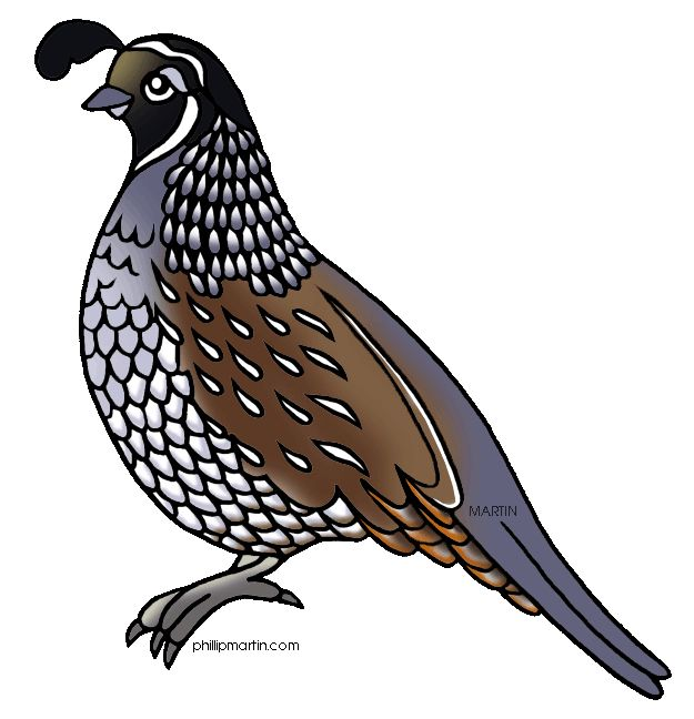 Quial clipart picture freeuse library Pin by Marie Aufiero on quail pictures & other birds   Bird ... picture freeuse library