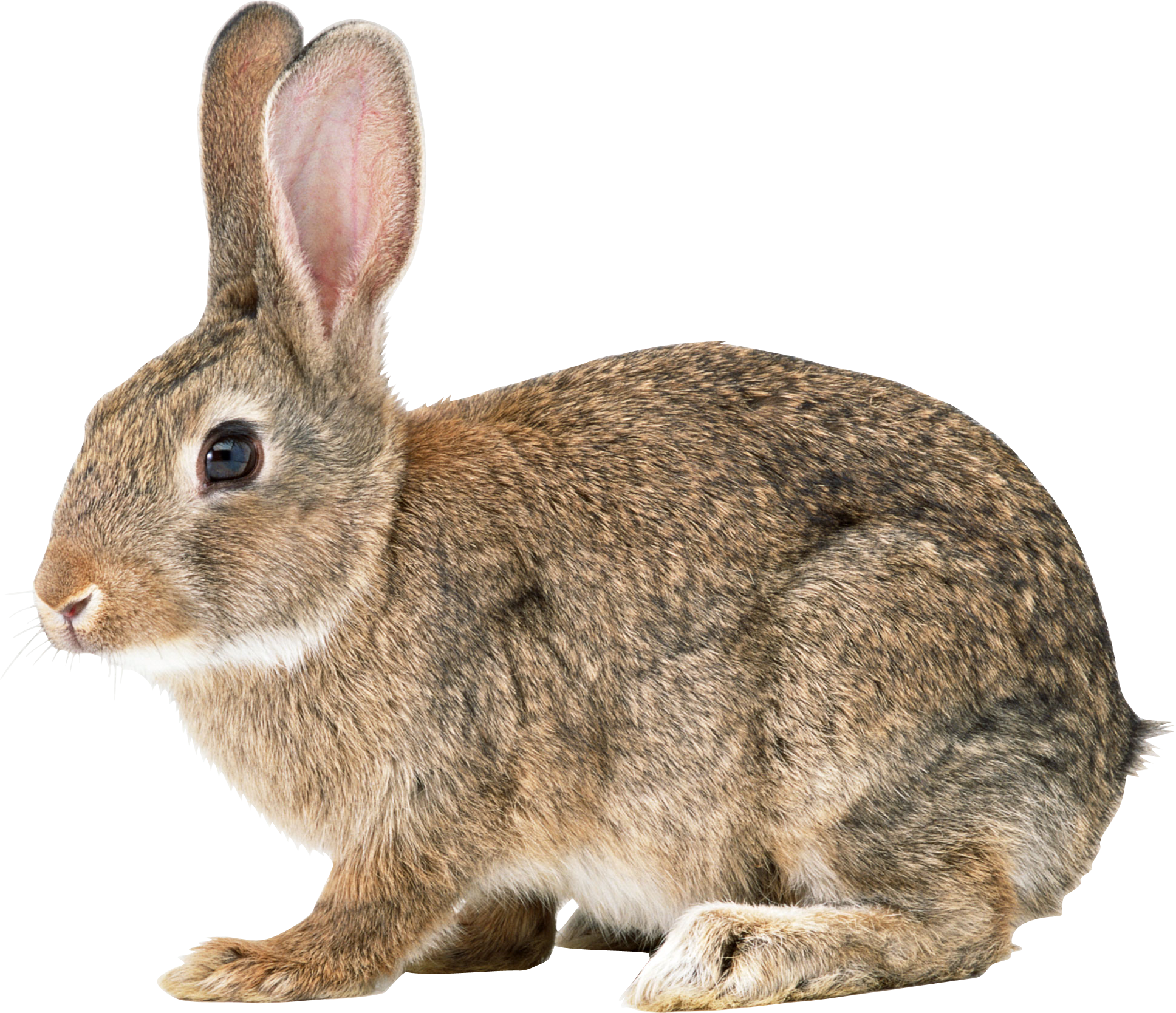 Rabbit with an apple clipart image freeuse Rabbit Three | Isolated Stock Photo by noBACKS.com image freeuse
