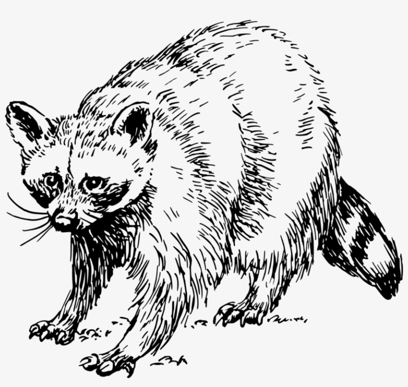 Baby Raccoon Giant Panda Squirrel Drawing - Raccoon Clipart ... png transparent download