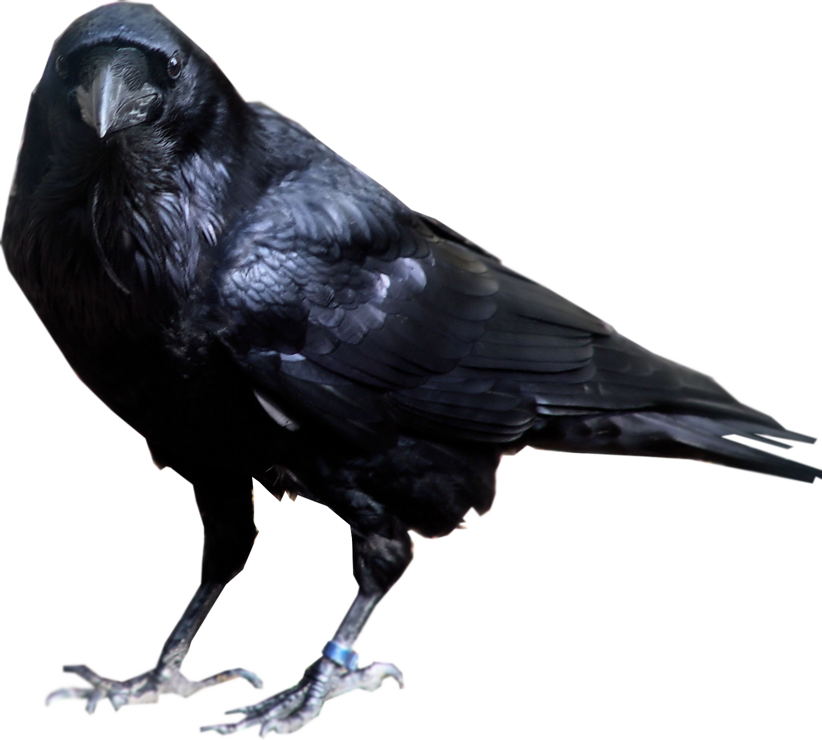 Raven in tree clipart vector freeuse library Raven (cool pics of heroes I like from artists). I'll make more of ... vector freeuse library