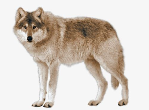 Real animal clipart graphic royalty free library Real Wolf PNG, Clipart, Animals, Animals Wolf, Carnivores ... graphic royalty free library