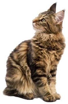 Real cat clipart vector Grey Cat Clipart | cats an dogs | Pinterest | Grey, Cats and Grey cats vector
