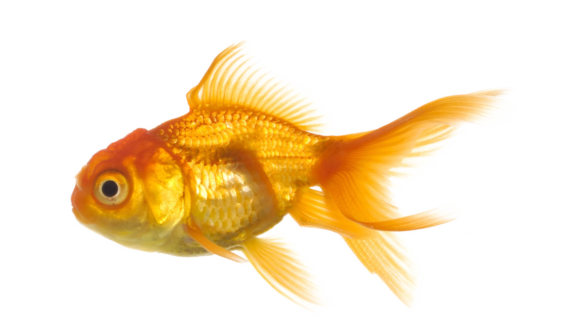 Real fish clipart image freeuse stock 28+ Collection of Real Fish Clipart | High quality, free cliparts ... image freeuse stock