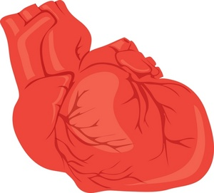 Real heart clipart jpg stock Real human heart clipart - ClipartFest jpg stock