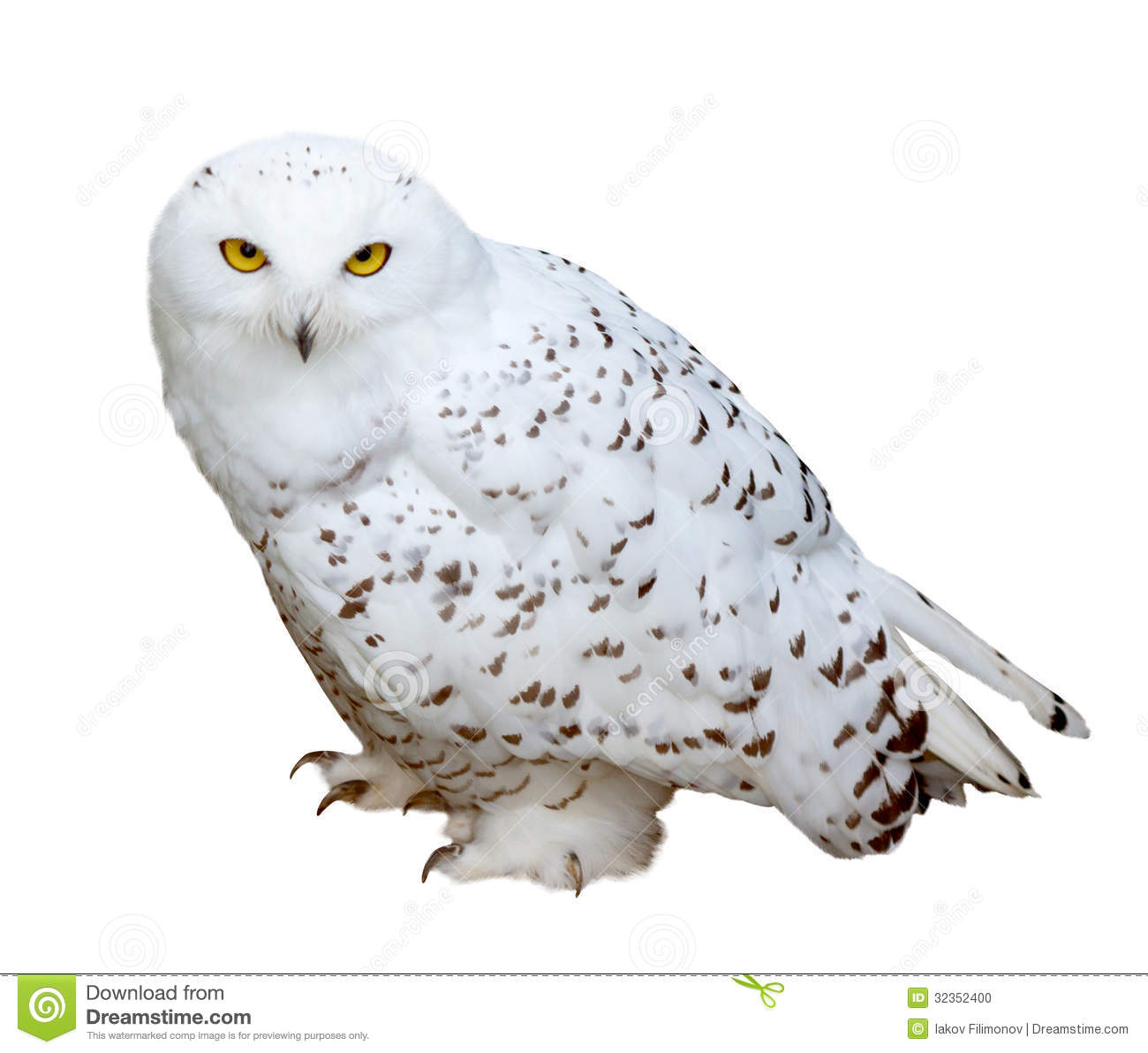 Real owl clipart png freeuse stock Snowy Owl Clipart - Clipart Kid png freeuse stock
