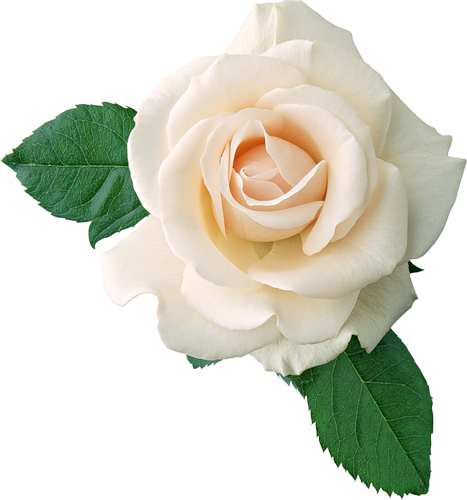 Real rose clipart banner stock Real White Rose Clipart | Gallery Yopriceville - High ... banner stock