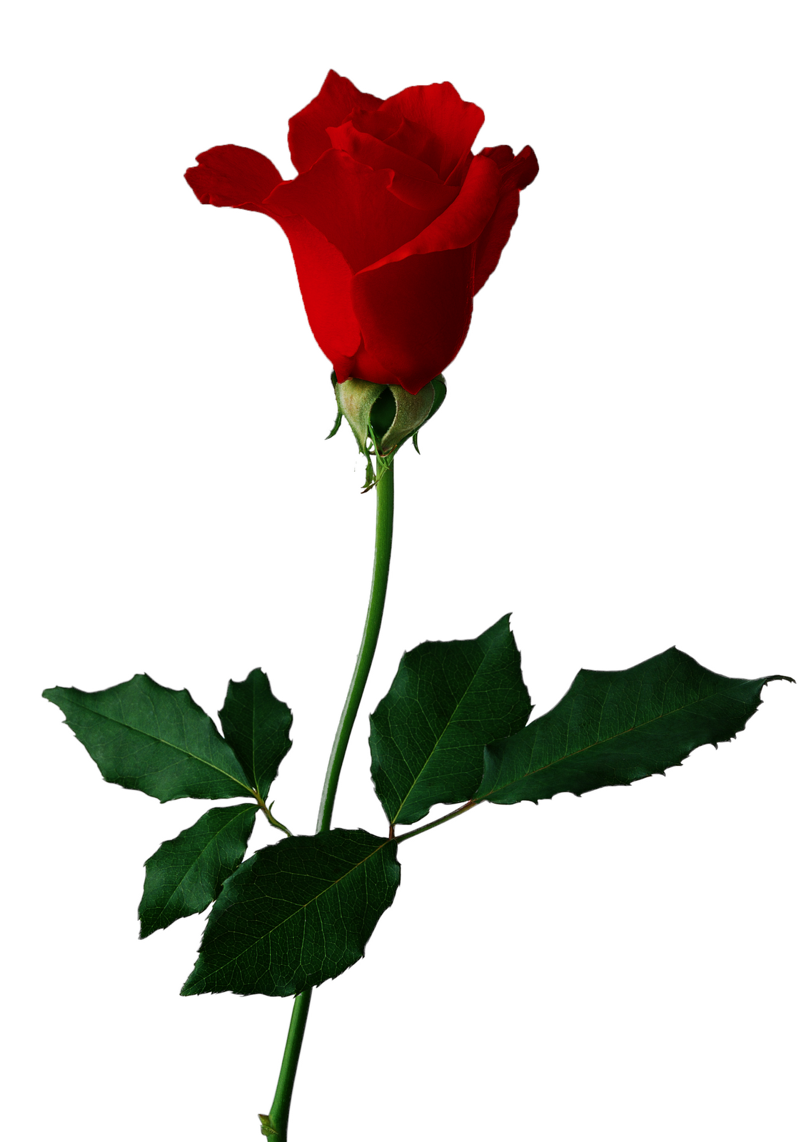 Real rose clipart picture library download Free Rose Graphics, Download Free Clip Art, Free Clip Art on ... picture library download