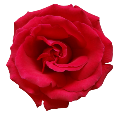 Real rose clipart vector royalty free download Download ROSE Free PNG transparent image and clipart vector royalty free download
