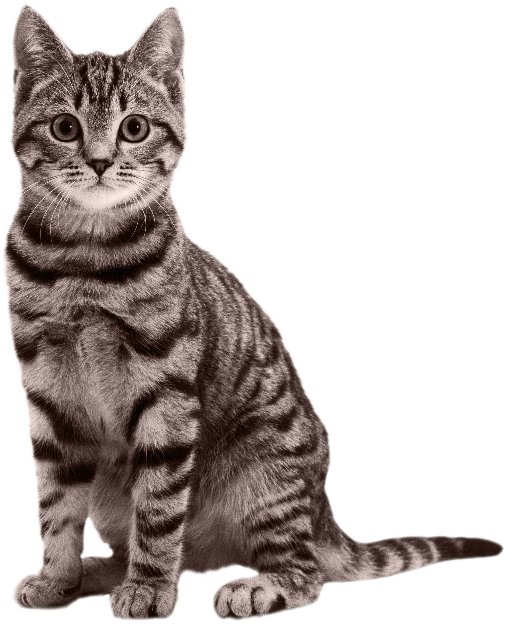 Realistic cat clipart picture free download Cats png free images, download picture free download